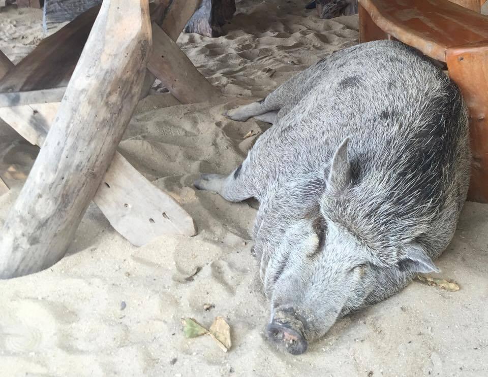 Schwein Tierwohl